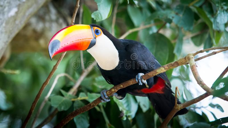 Μεγάλο Toucan στοκ φωτογραφία με δικαίωμα ελεύθερης χρήσης