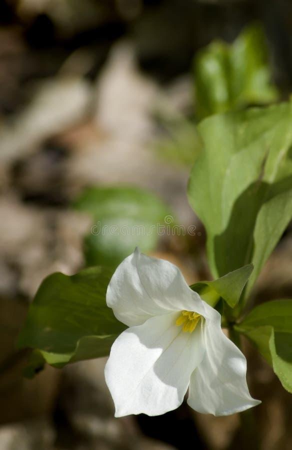 μεγάλο Trillium Grandiflorum Στοκ Εικόνες