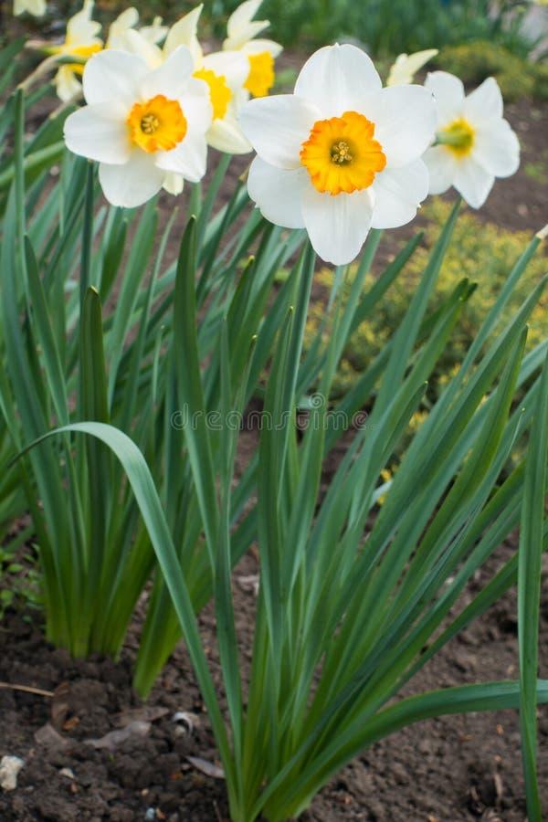 Μεγάλα άσπρα λουλούδια των narcissuses την άνοιξη στοκ φωτογραφία