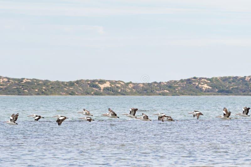 Μεγάλα αυστραλιανά πουλιά νερού πελεκάνων που πετούν στη γραμμή σε Coorong ν στοκ εικόνες με δικαίωμα ελεύθερης χρήσης
