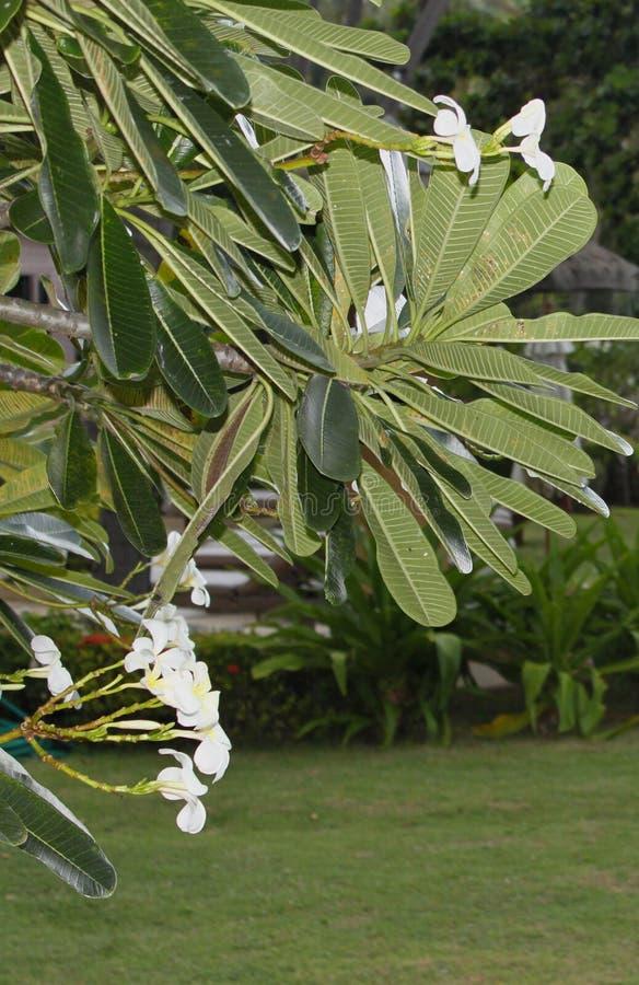 Μεγάλα πράσινα φύλλα και άσπρα λουλούδια στοκ εικόνες με δικαίωμα ελεύθερης χρήσης