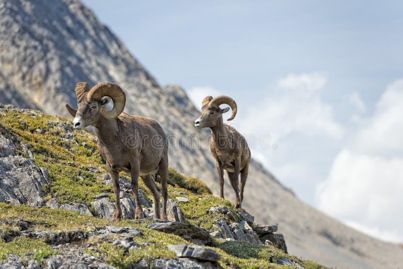 Μεγάλα πρόβατα κέρατων που περπατούν στην άκρη βουνών στοκ φωτογραφία με δικαίωμα ελεύθερης χρήσης