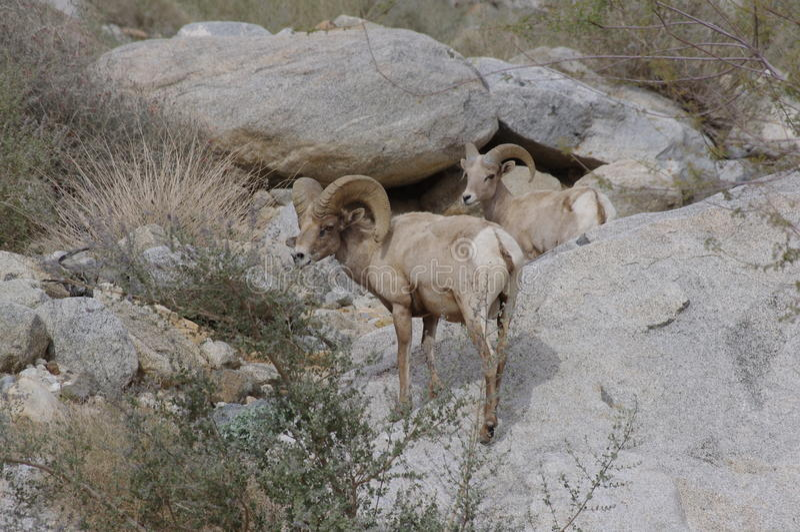 Μεγάλα πρόβατα κέρατων Borrego στοκ εικόνες