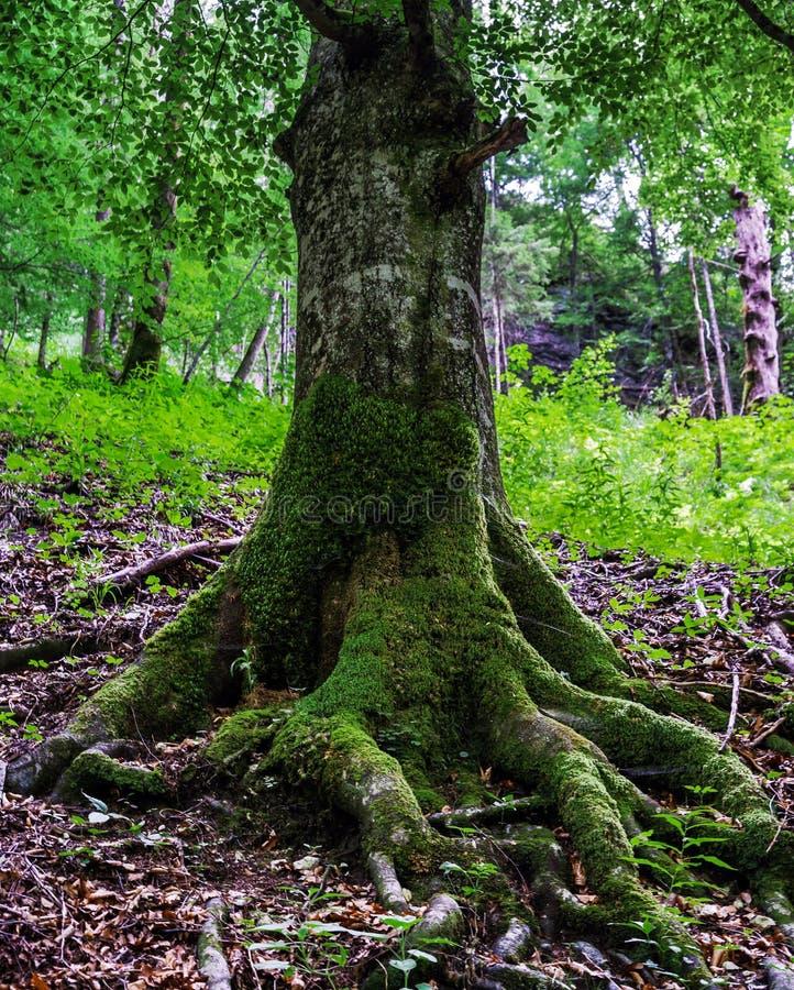 Μεγάλες ρίζες δέντρων με το βρύο στοκ εικόνα με δικαίωμα ελεύθερης χρήσης