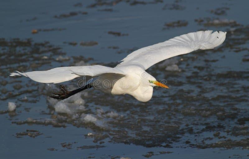 Μεγάλη άσπρη μύγα τσικνιάδων πέρα από τον παγωμένο ποταμό στοκ εικόνα με δικαίωμα ελεύθερης χρήσης