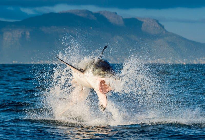 Μεγάλη άσπρη παραβίαση carcharias Carcharodon καρχαριών στοκ φωτογραφία με δικαίωμα ελεύθερης χρήσης