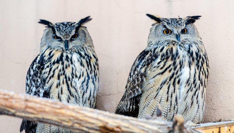 Μεγάλη αετός-κουκουβάγια στοκ εικόνες