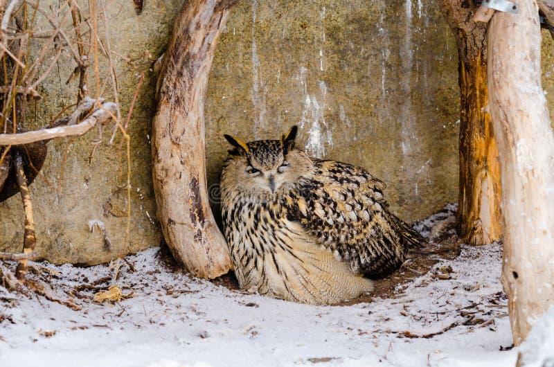 Μεγάλη αετός-κουκουβάγια στοκ εικόνα με δικαίωμα ελεύθερης χρήσης