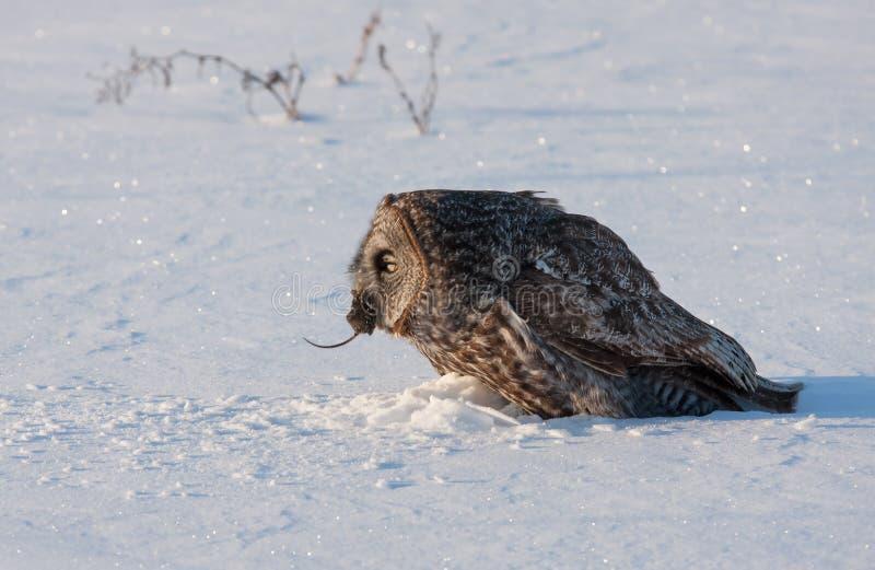 Μεγάλη γκρίζα κουκουβάγια με το θήραμα το χειμώνα στοκ φωτογραφίες