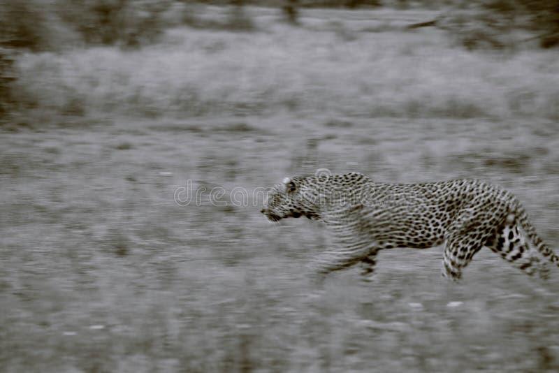 Μεγάλη λεοπάρδαλη στοκ φωτογραφία