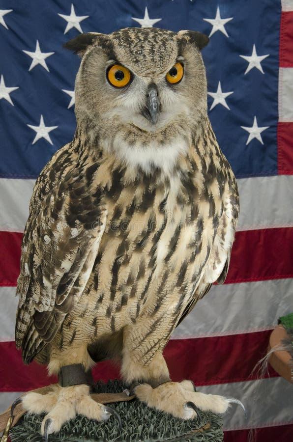 Μεγάλη κερασφόρος κουκουβάγια μπροστά από τη αμερικανική σημαία στοκ εικόνα