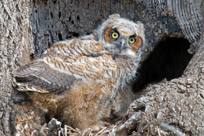 Μεγάλη κερασφόρος κουκουβάγια Owlet στη φωλιά στοκ φωτογραφίες