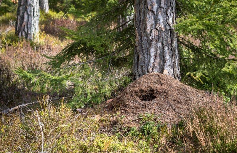 Μεγάλη μυρμηγκοφωλιά στο δάσος πεύκων την άνοιξη, που καταστρέφεται με το πράσινο κυνήγι δρυοκολαπτών για τα τρόφιμα το χειμώνα στοκ φωτογραφία με δικαίωμα ελεύθερης χρήσης