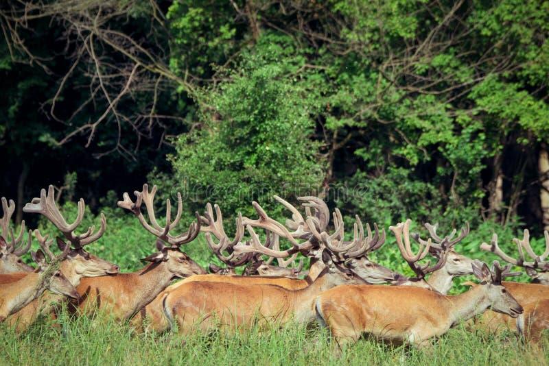 Μεγάλη ομάδα κόκκινων deers και hinds περπατήματος στη δασική άγρια φύση στο φυσικό βιότοπο στοκ εικόνες με δικαίωμα ελεύθερης χρήσης