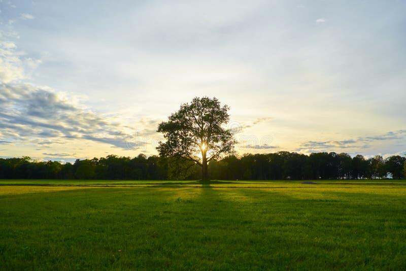 Μεγάλη παλαιά βαλανιδιά σε έναν τομέα στο ηλιοβασίλεμα στοκ εικόνα με δικαίωμα ελεύθερης χρήσης