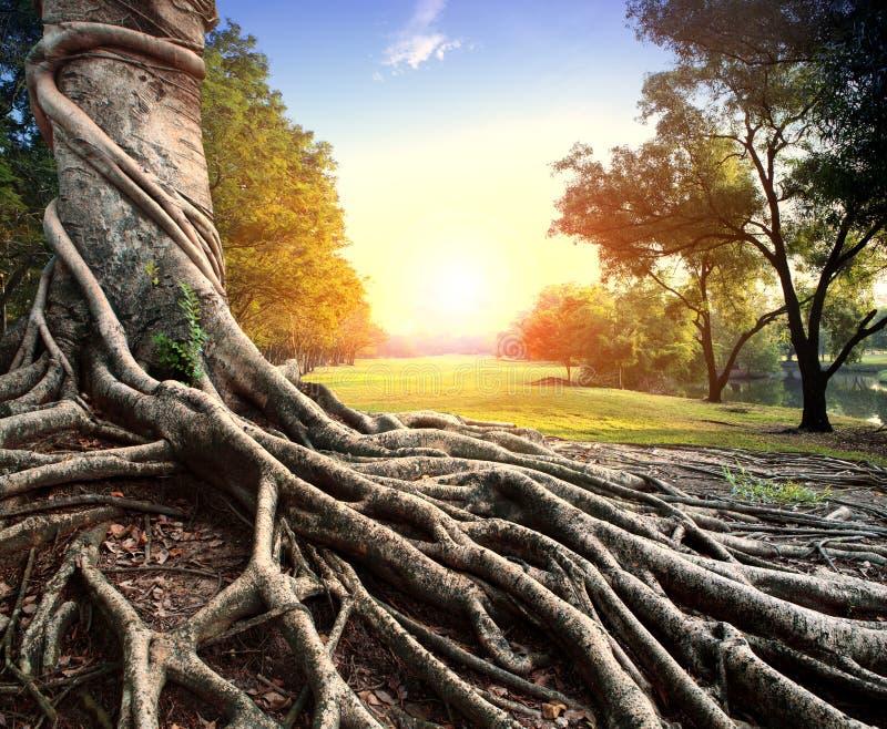 Μεγάλη ρίζα του banyan δέντρου στο πράσινο πάρκο στοκ εικόνα