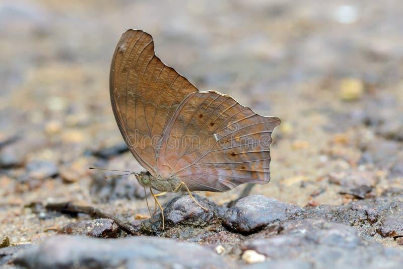 Μεγάλη assyrtan πεταλούδα στοκ φωτογραφίες με δικαίωμα ελεύθερης χρήσης