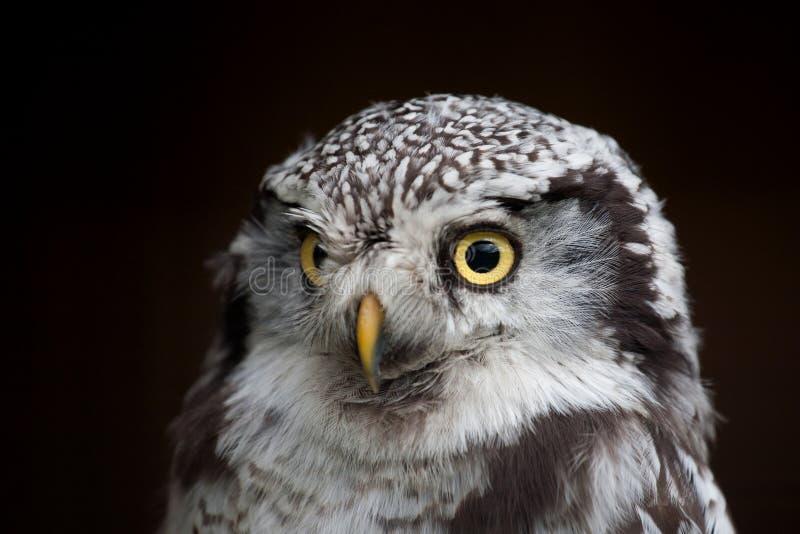 Μεγάλη eyed κουκουβάγια, κοιτάζοντας επίμονα κουκουβάγια στοκ εικόνα με δικαίωμα ελεύθερης χρήσης