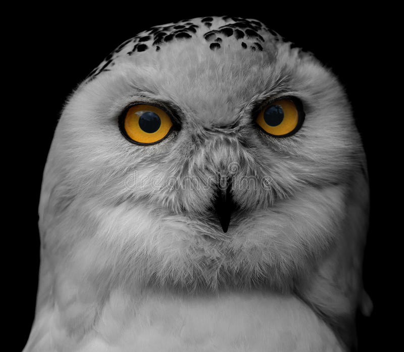 Μεγάλη eyed κουκουβάγια, κοιτάζοντας επίμονα κουκουβάγια στοκ φωτογραφίες με δικαίωμα ελεύθερης χρήσης