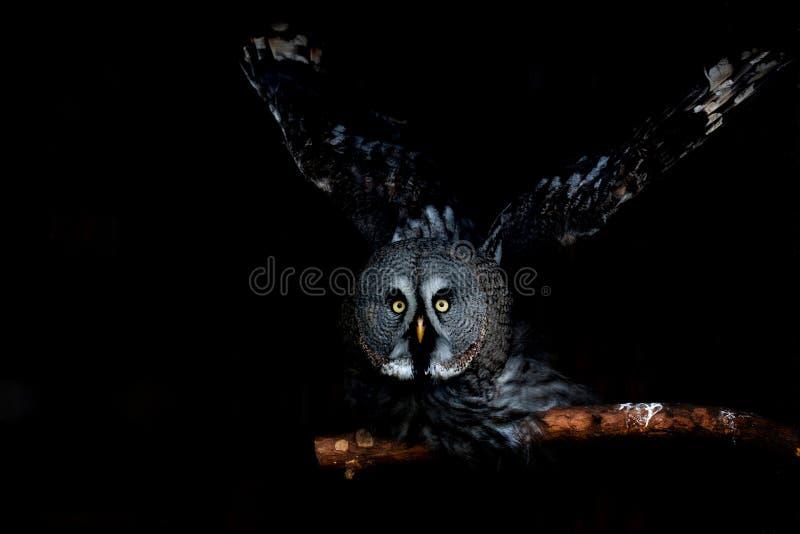 Μεγάλη eyed κουκουβάγια, κοιτάζοντας επίμονα κουκουβάγια στοκ εικόνα