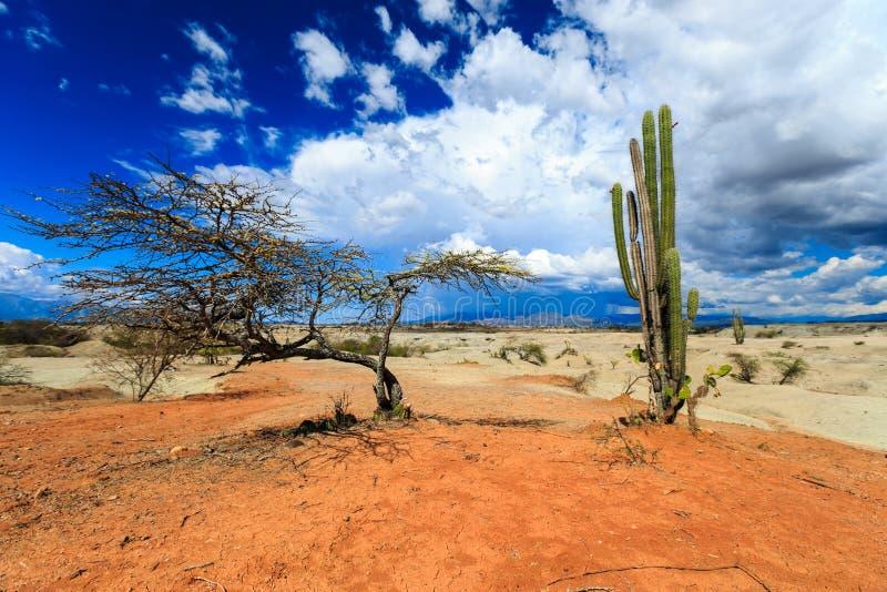 Μεγάλοι κάκτοι στην κόκκινη έρημο στοκ εικόνες με δικαίωμα ελεύθερης χρήσης