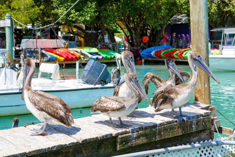 Μεγάλοι καφετιοί πελεκάνοι σε Islamorada, Florida Keys στοκ φωτογραφίες