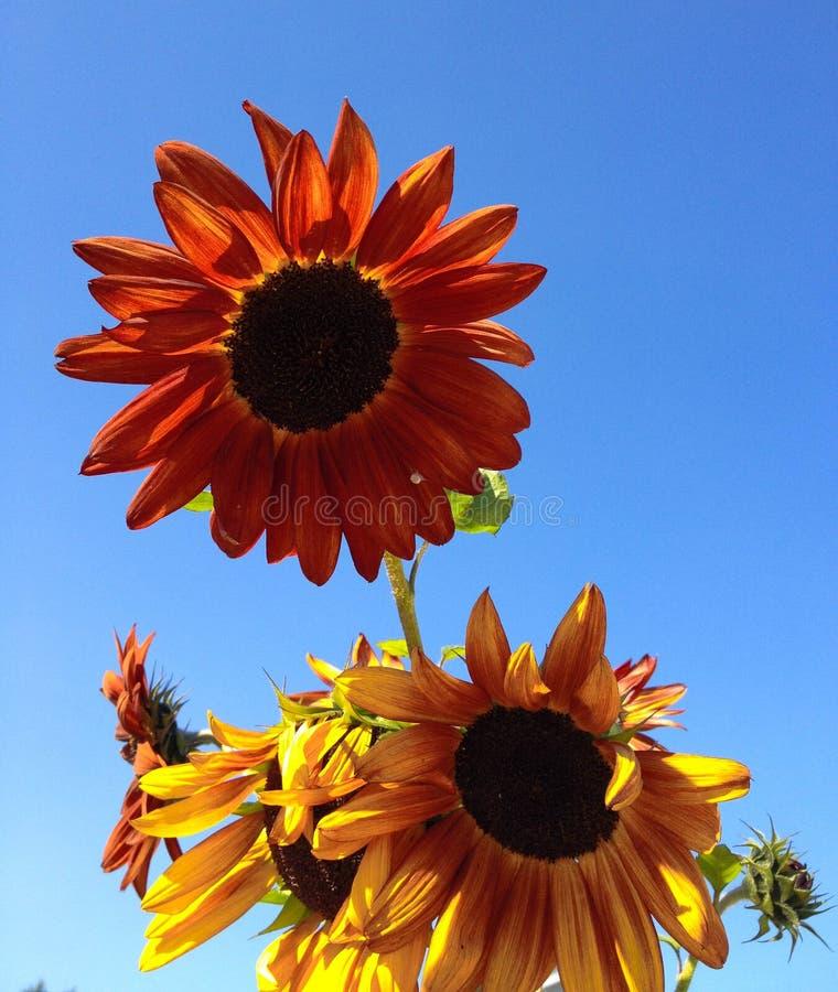 Μεγάλοι φωτεινοί πορτοκαλιοί και κίτρινοι ηλίανθοι ενάντια σε έναν φωτεινό μπλε ουρανό στοκ φωτογραφία με δικαίωμα ελεύθερης χρήσης