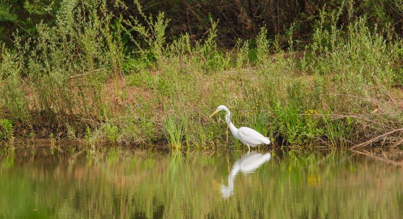 Μεγάλος άσπρος τσικνιάς που αλιεύει στον ποταμό στοκ εικόνες