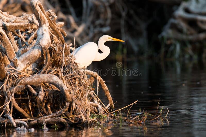 Μεγάλος άσπρος τσικνιάς που υπερασπίζεται την άκρη ποταμών στοκ εικόνες