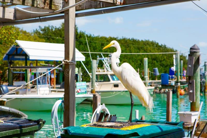 Μεγάλος άσπρος τσικνιάς σε Islamorada, Florida Keys στοκ εικόνες