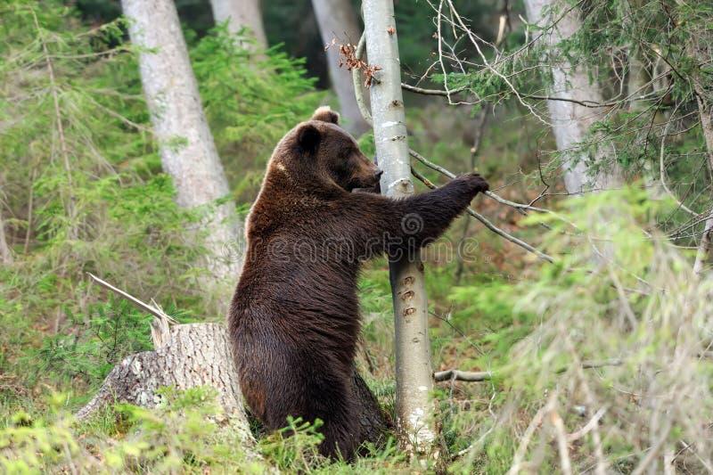 Μεγάλος αντέξτε στο δάσος στοκ εικόνα με δικαίωμα ελεύθερης χρήσης