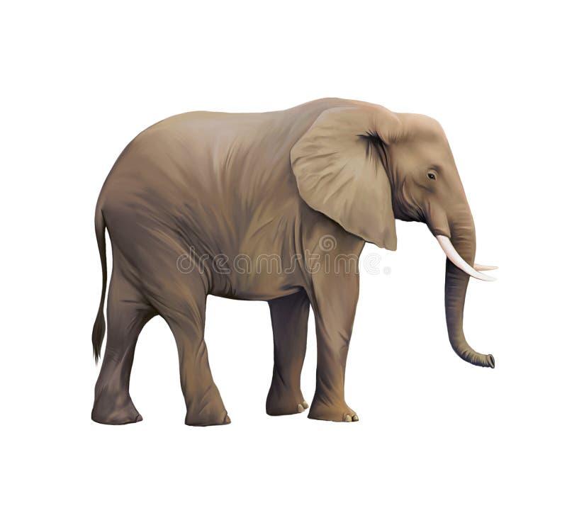 Μεγάλος αρσενικός αφρικανικός ελέφαντας ελεύθερη απεικόνιση δικαιώματος