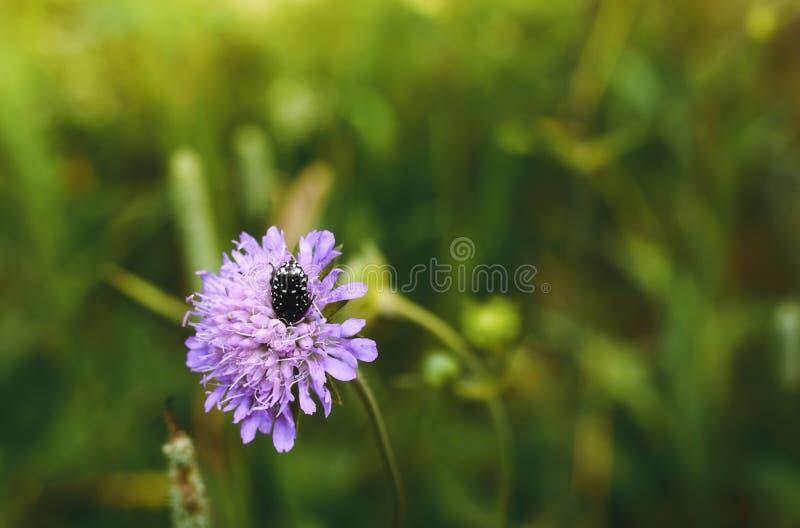 Μεγάλος κάνθαρος σε ένα ρόδινο λουλούδι στοκ φωτογραφία με δικαίωμα ελεύθερης χρήσης