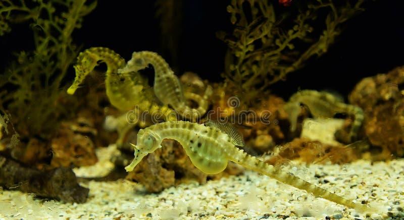 Μεγάλος-κοιλιά Seahorse στοκ φωτογραφία με δικαίωμα ελεύθερης χρήσης