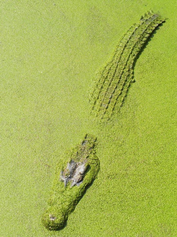 Μεγάλος κροκόδειλος και πράσινες εγκαταστάσεις στη λίμνη στοκ εικόνες