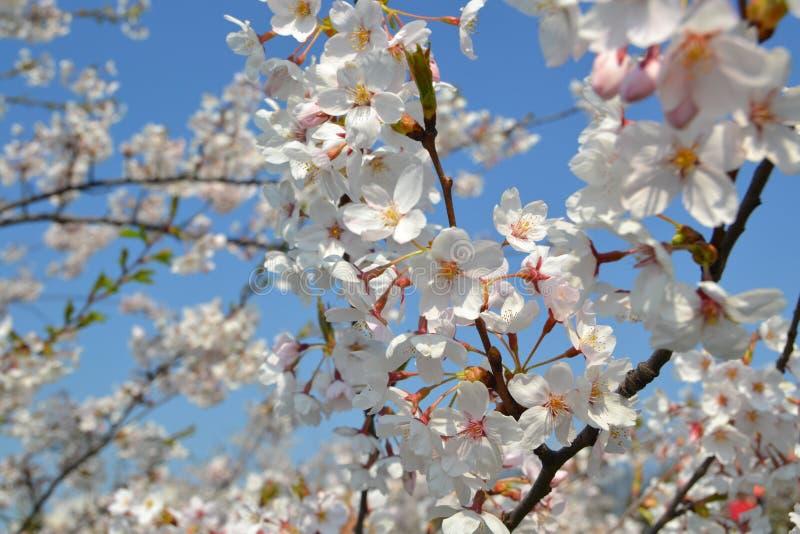 Μεγάλος κλάδος του ανθίζοντας δέντρου κερασιών στοκ φωτογραφία με δικαίωμα ελεύθερης χρήσης
