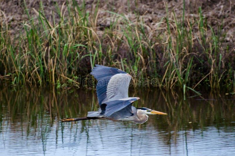 Μεγάλος μπλε ερωδιός που πετά, εθνικό καταφύγιο άγριας πανίδας σαβανών στοκ φωτογραφίες