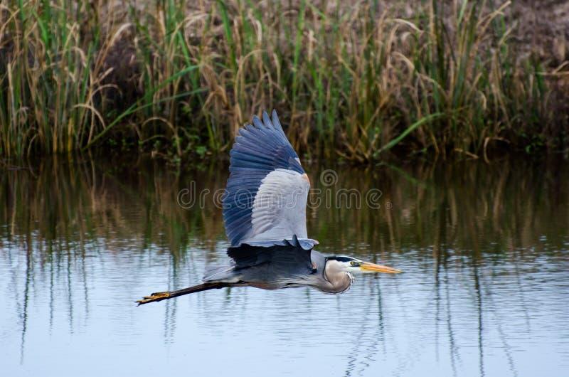 Μεγάλος μπλε ερωδιός που πετά, εθνικό καταφύγιο άγριας πανίδας σαβανών στοκ εικόνα με δικαίωμα ελεύθερης χρήσης