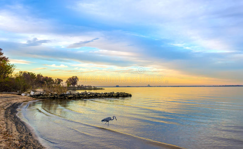 Μεγάλος μπλε ερωδιός σε μια παραλία κόλπων Chesapeake στο ηλιοβασίλεμα στοκ εικόνες