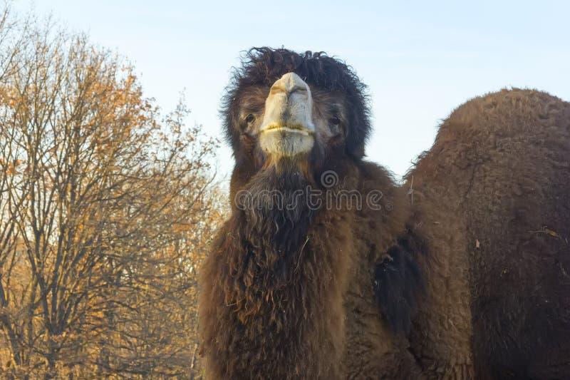 Download Μεγάλος δύο-η καμήλα στοκ εικόνα. εικόνα από καμήλα, birders - 62717485