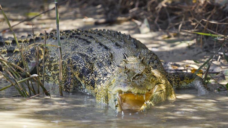 Μεγάλος saltwater κροκόδειλος στοκ εικόνα με δικαίωμα ελεύθερης χρήσης