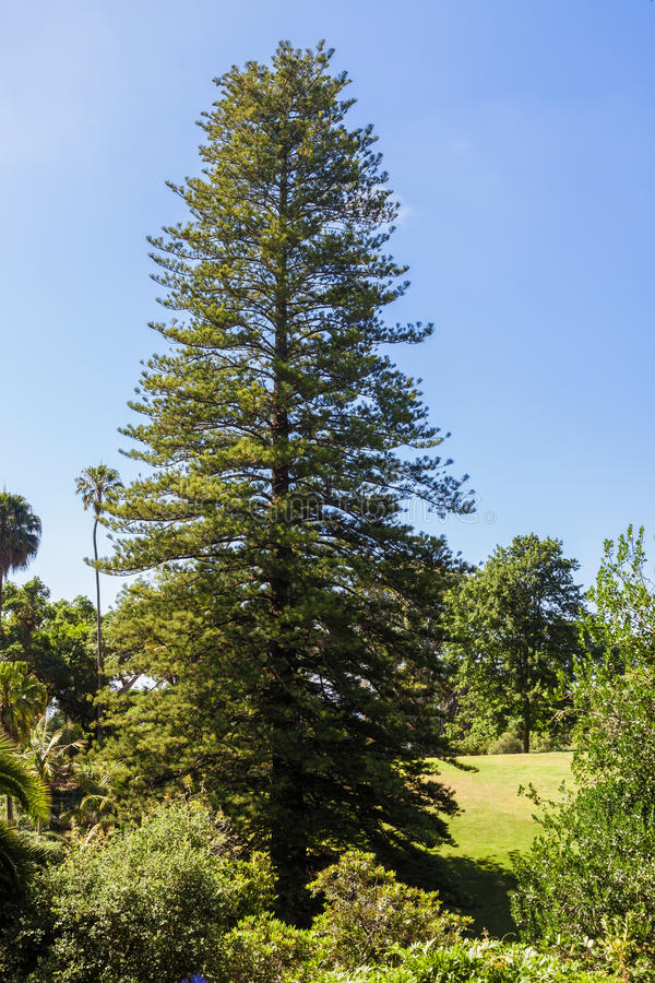 Μεγάλο δέντρο έλατου στο πάρκο στοκ φωτογραφία με δικαίωμα ελεύθερης χρήσης
