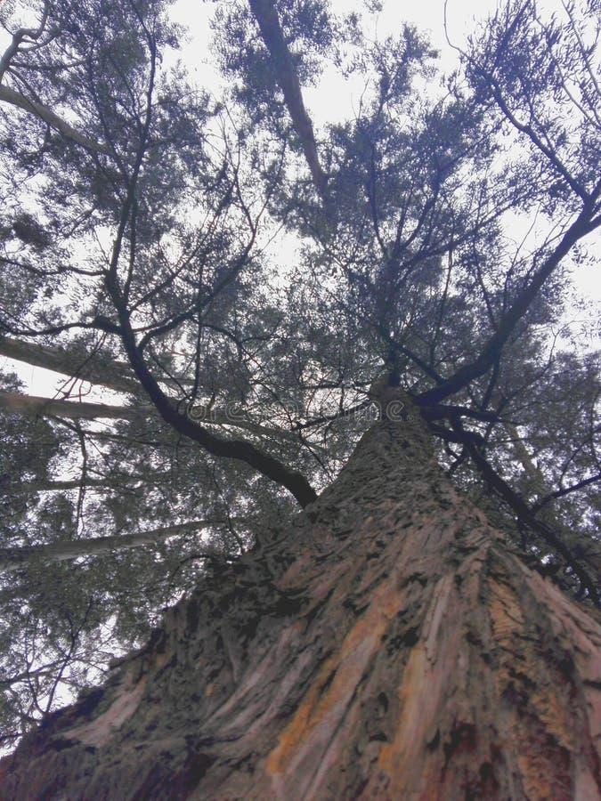 Μεγάλο δέντρο ευκαλύπτων στοκ φωτογραφία με δικαίωμα ελεύθερης χρήσης