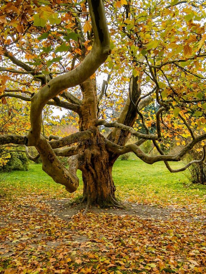 Μεγάλο δέντρο με έναν κλάδο στοκ φωτογραφία με δικαίωμα ελεύθερης χρήσης