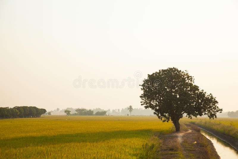 Μεγάλο δέντρο στους τομείς ρυζιού. στοκ εικόνες
