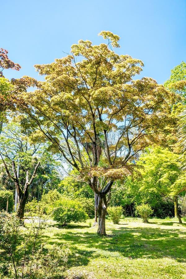 Μεγάλο δέντρο σφενδάμνου την ηλιόλουστη θερινή ημέρα στο πράσινο πάρκο στοκ φωτογραφία με δικαίωμα ελεύθερης χρήσης