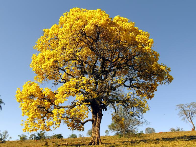Μεγάλο κίτρινο δέντρο Ipê δέντρο που καλύπτεται κίτρινο στα λουλούδια & x28 Handroanthus albus& x29  στοκ φωτογραφίες με δικαίωμα ελεύθερης χρήσης