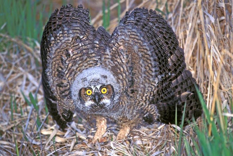 Μεγάλο κερασφόρο Owlet που παρουσιάζει επιθετικότητα στοκ εικόνες