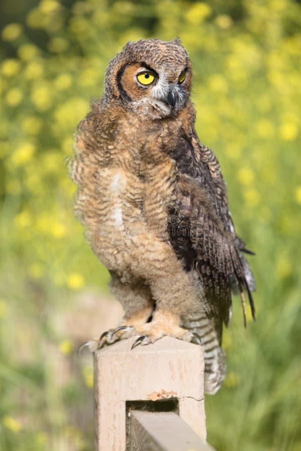 μεγάλο κερασφόρο owlet στοκ εικόνες με δικαίωμα ελεύθερης χρήσης