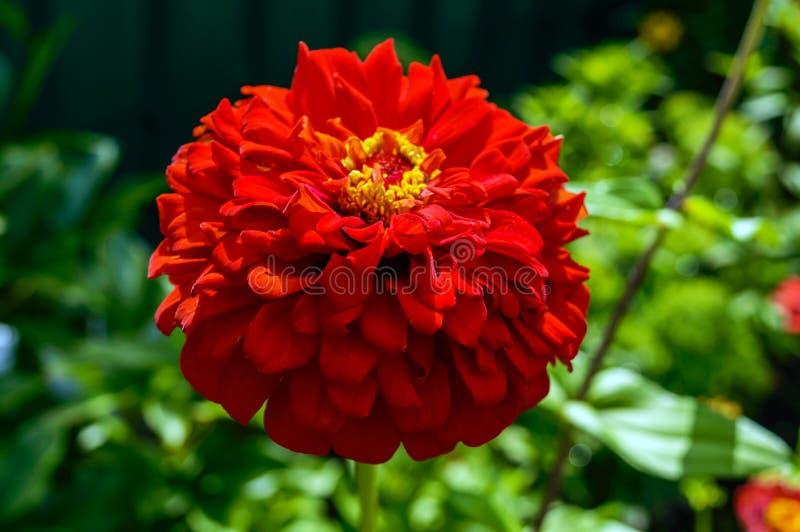 Μεγάλο κόκκινο χρώμα zinnias λουλουδιών σε ένα υπόβαθρο της φύσης στοκ εικόνες με δικαίωμα ελεύθερης χρήσης